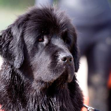 Jolly Newfie